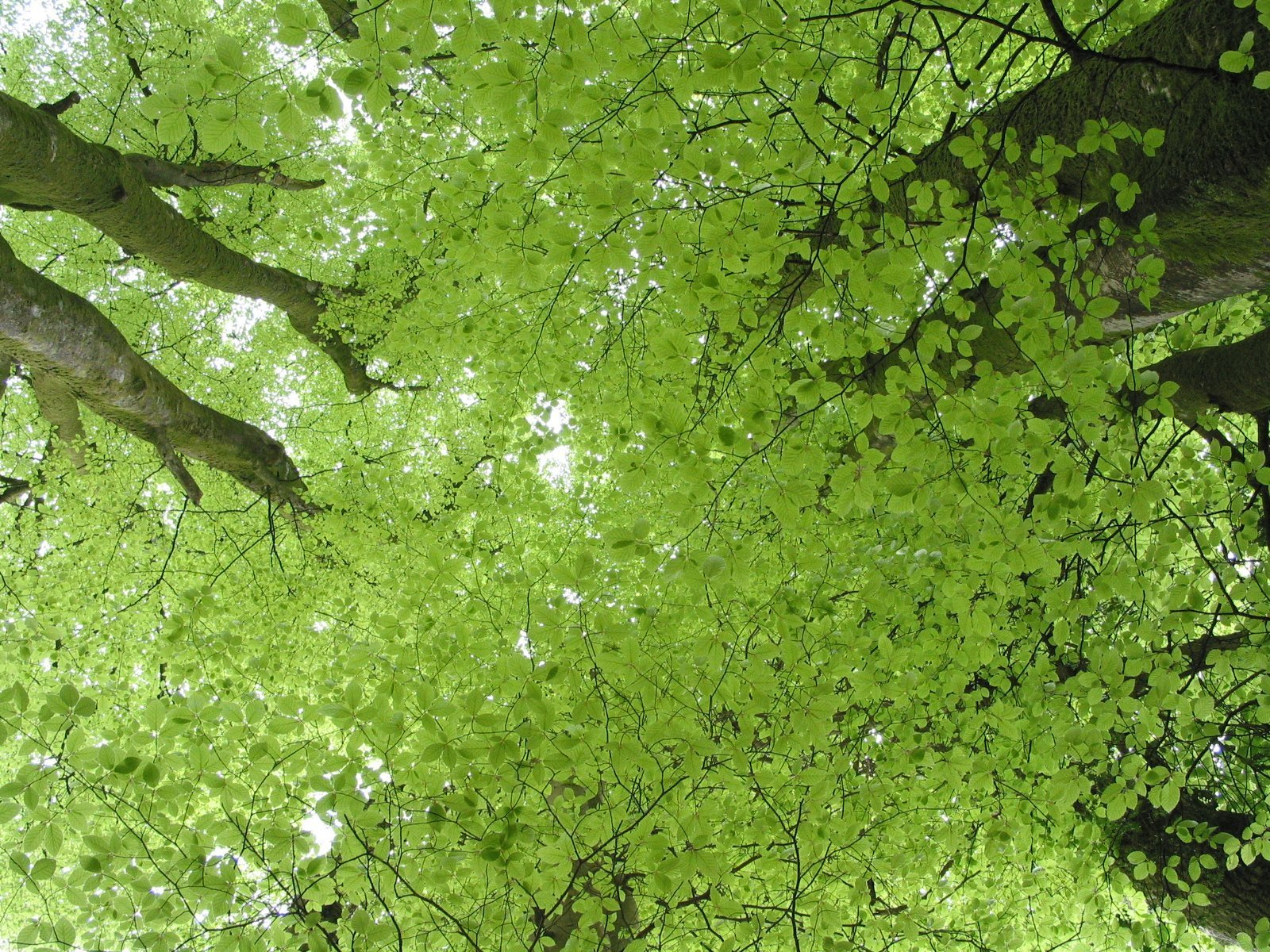 Tree canopy from beneath